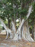 Deed onderzoek naar de best producerende rubberbomen.