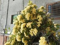 Sierheester in volle bloei