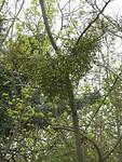 Veel Mistletoe in de bomen
