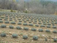 Vele velden met Lavendel