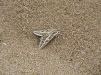 Verdwaalde nachtvlinder op het strand