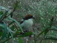 Nieuwschierig vogeltje (Zwartkop?)