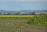 Reeën en fazanten vlakbij