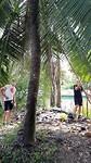Kokosnoten oogsten