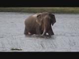 Olifant in Wilpattu NP