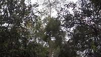 Jumping Proboscis monkeys