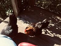Kippen Houten hut
