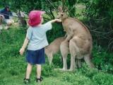 Multitaskende kangaroos