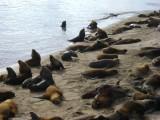 Zeeleeuwen haven Mar del Plata