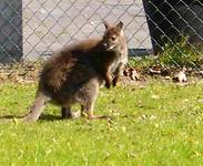 Dalfsen II kangoeroe