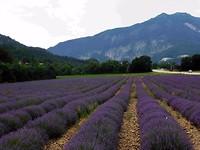 Die lavendel 1