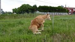 Zittende koe.