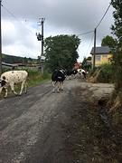 A Gueima, even de berm in om de koeien langs te laten.