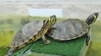 Schildpadden!