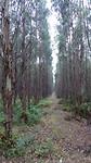 Veel plantages met eucalyptus gezien vandaag.