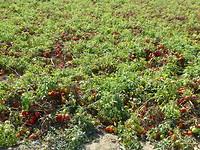 Tomaten (gejat)