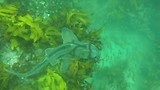 Shelly beach duiken 5
