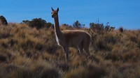nog een soort van alpaca (waar ik nog steeds de naam niet van weet..) bij de 14 gekleurde bergen.