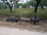 Zwarte varkens langs de weg