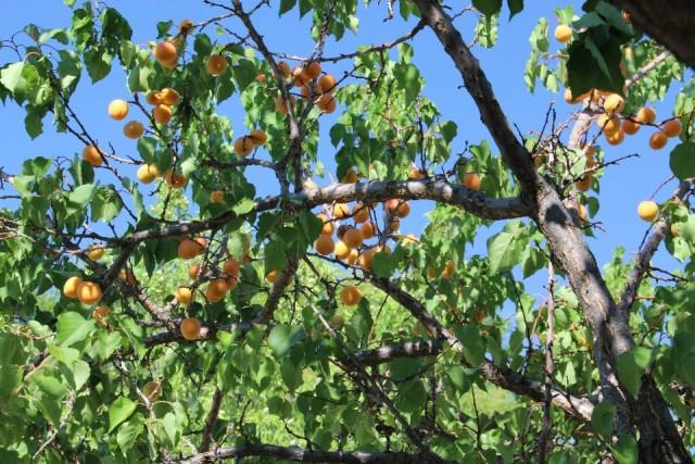 Abrikozen, rijp voor de pluk.