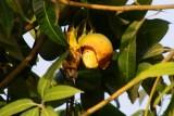 vogel in een mangoboom