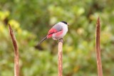 een roodkontje