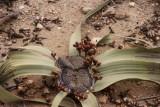 Welwitchsia mirabilis,mannelijke variant