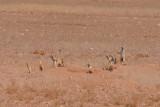 stokstaarjes in de woestijn