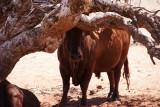 één van de honderd stieren