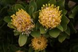 de natinale bloem protea