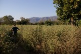 Peter bestudeert de katoenplantjes