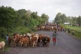 geen verkeersdrempels alleen koeien, geiten, schapen opde weg