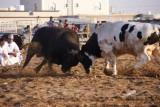 stierenvechten in Muscat