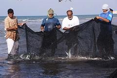 nog enorm veel vis in  de Arabische zee