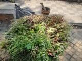 de planten voor het maken van de terreré
