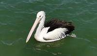 Percy de pelikaan