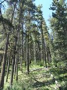 Sparren door het berenbos