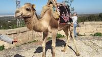 ... kameel of dromedaris ...