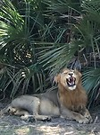 King of Lion