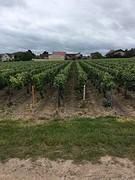 De eerste (champagne)druiven