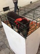 Een varkentje in Bazas