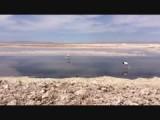 Flamingo's in zoutlagunes