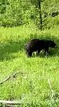 Zwarte beer, vrij jong, maar al zelfstandig.
