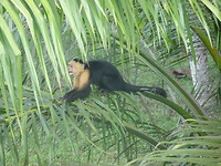 Whiteface Capucin monkey