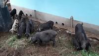 De varkens bij de boerderij
