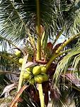 Kokos noten
