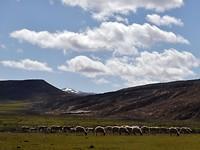 238. hoeveel schapen zouden er zijn in Marokko