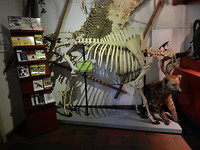 Skelet van een bizon!
