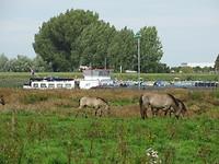 Konikpaarden langs de Waal!