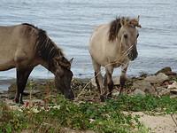 Konikpaarden!